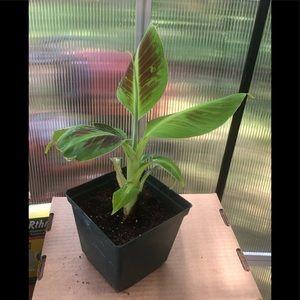 COPY - Baby Cavendish banana plant, will produce …